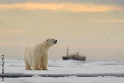 Recess Fitting Polar bear Polar bear on the drift ice with snow, blurred cruise chip in background, Svalbard, Norway