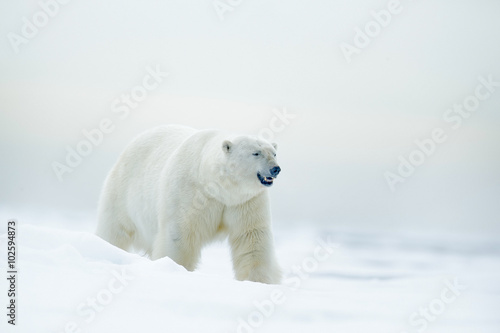 Tuinposter Ijsbeer Polar bear on drift ice with snow, blurred nice yellow and blue sky in background, white animal in the nature habitat, Russia