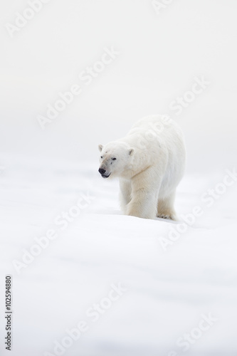 Staande foto Ijsbeer Big polar bear on drift ice with snow, clear white photo, Svalbard, Norway