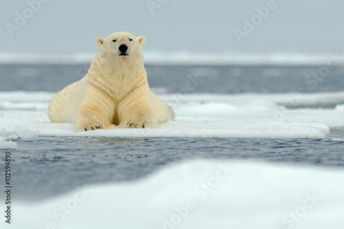 In de dag Ijsbeer Lying polar bear on drift ice arctic Svalbard