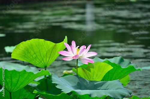 Poster de jardin Nénuphars blooming pink lotus flower, Kyoto Japan.
