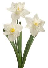 White Narcissus Closeup