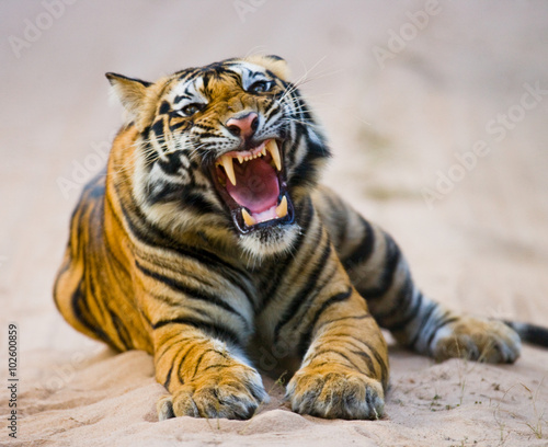 Foto op Canvas Tijger Wild Bengal Tiger lying on the road in the jungle. India. Bandhavgarh National Park. Madhya Pradesh. An excellent illustration.