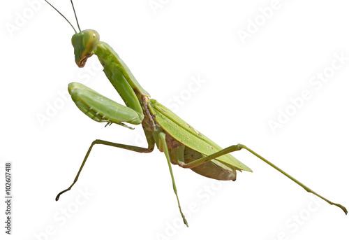 Fotografie, Obraz  the big Mantis