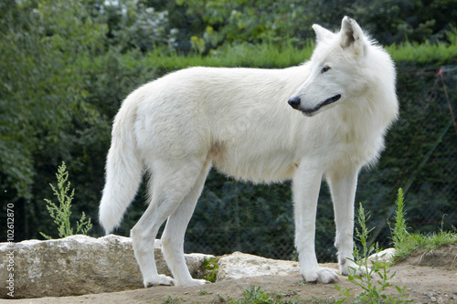 Valokuva  Loup d'arctique