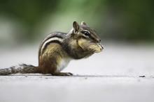 Chipmunk & Peanut