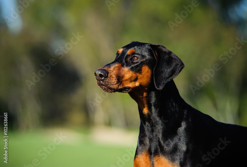 Doberman With Natural Ears Buy This Stock Photo And Explore