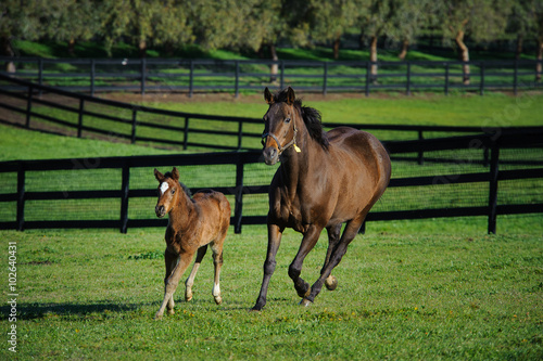 Fotografie, Obraz  Mother and baby horse running through a fenced pasture