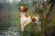 Brittany Spaniel Standing On P...