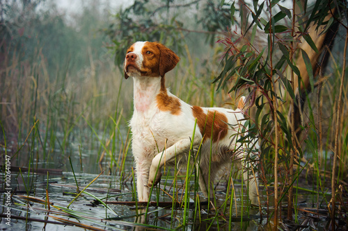 Canvas Print Brittany Spaniel standing on point in lagoon