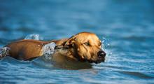 Rhodesian Ridgeback Dog Swimming In Blue Water