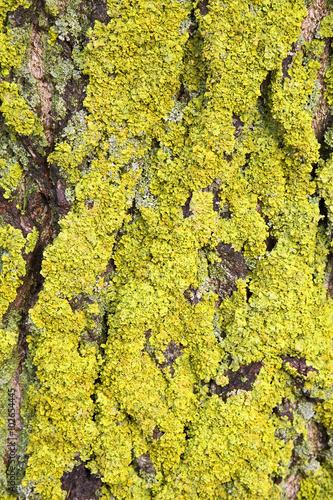 Maritime Sunburst Lichen (Xanthoria parietina) on bark of poplar Wallpaper Mural