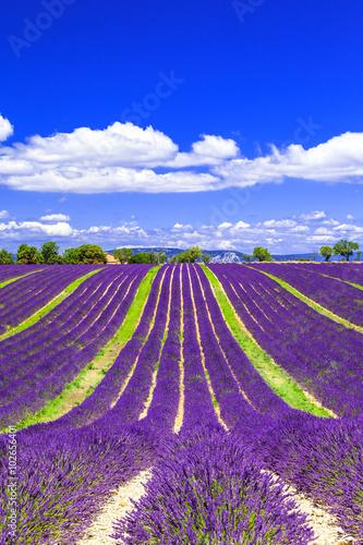Foto op Aluminium Snoeien blooming lavander fields in Provance, France