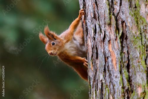 Foto op Canvas Eekhoorn Squirrel observer from the tree