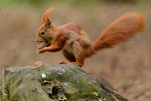 Papiers peints Squirrel The squirrel on the stump with a whole walnut in its mouth