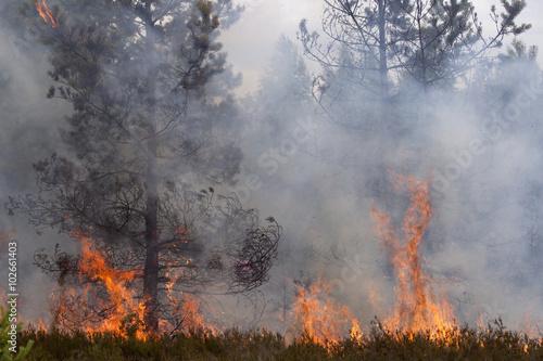 Fotografia, Obraz  Flames and smoke of forest fire. Pine wood fire.