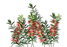 Bottle Brush Flower,red Flowers On White Background,vector Illustration