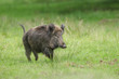 Frightened wild boar running from people entering the forest