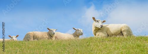 Foto op Aluminium Schapen sheep on a meadow