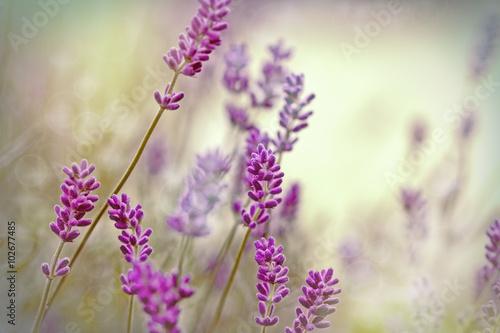 Fototapety, obrazy: Beautiful lavender flower in flower garden