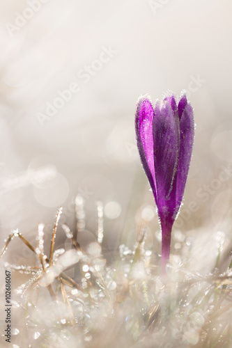 Foto op Plexiglas Krokussen Freeze crocus flower in spring