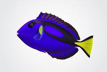 Pacific Blue Fish On White Background