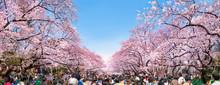 Kirschblüten In Tokyo Im Ueno...