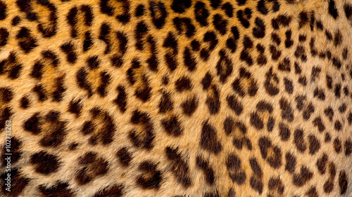 Canvas Prints Leopard Real jaguar skin