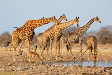 FototapetaGiraffe herd (Giraffa camelopardalis) at a waterhole, Etosha National Park, Namibia.