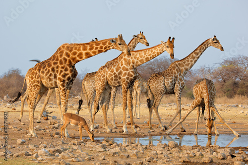 Giraffe herd (Giraffa camelopardalis) at a waterhole, Etosha National Park, Namibia.