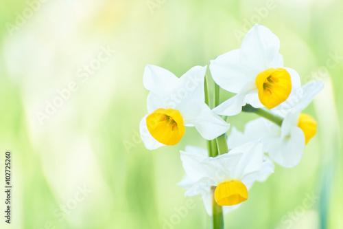 Papiers peints Narcisse ニホンスイセン