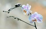 Fototapeta Kwiaty - Orchidea
