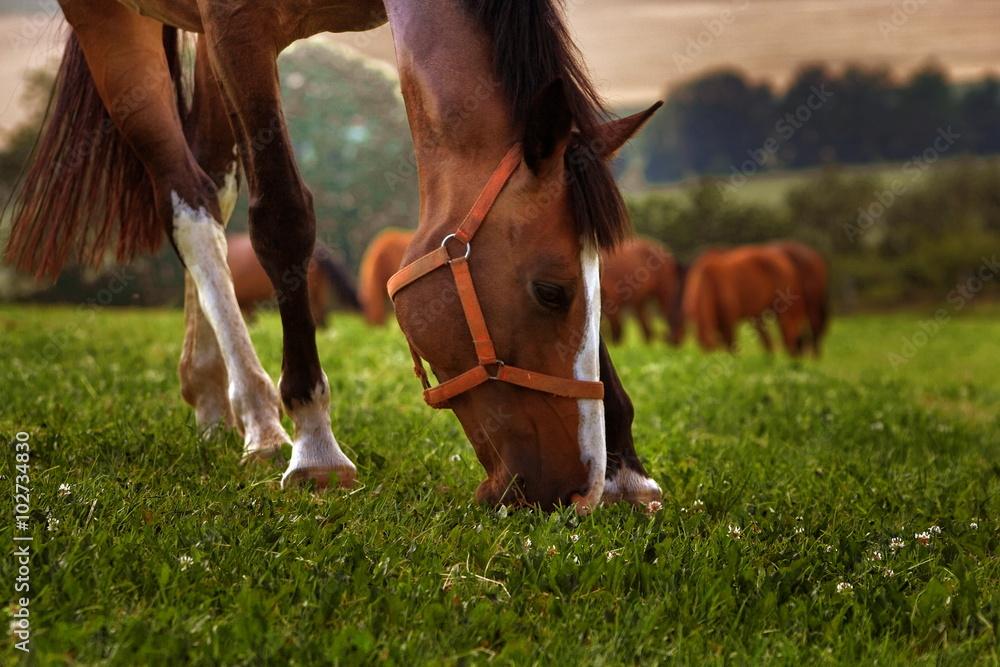 Fototapeta Pasący się koń
