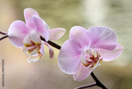 Naklejka premium Orchidea