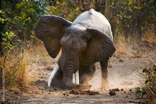 Poster Olifant Angry elephant standing on the road. Zambia. South Luangwa National Park. An excellent illustration.