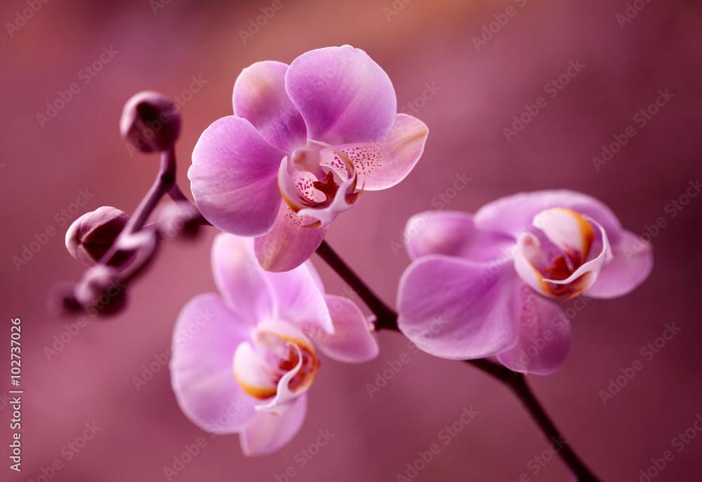 Fototapety, obrazy: Orchidea - Storczyki fiolet