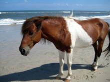 Horse At The Beach, Assateague Island