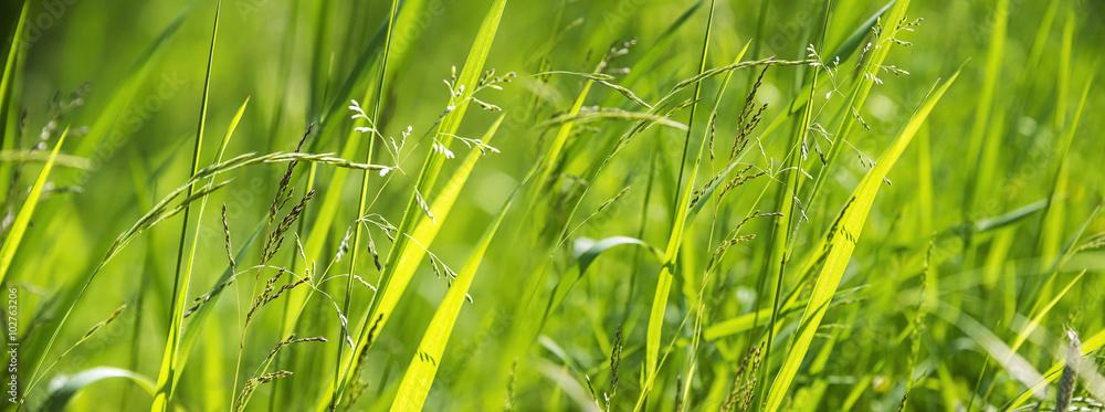 Fototapety, obrazy: flowering grass in detail