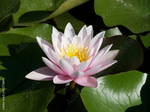 Photo Stands Water lilies Die Seerose