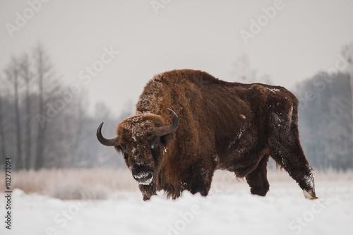 Foto op Canvas Bison żubr