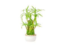Lucky Bamboo (Dracaena Sanderi...