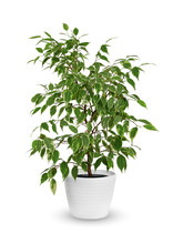 Young Ficus Benjamina A Potted Plant Isolated Over White