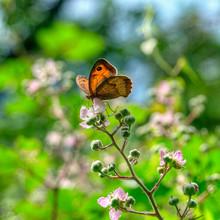 Mariposa Bolboreta, Butterfly