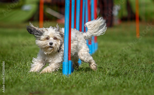 Hund beim Agility im Slalom