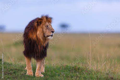 Pinturas sobre lienzo  León del lápiz labial de Rekero orgullo tarde en la noche en Masai Mara, Kenia