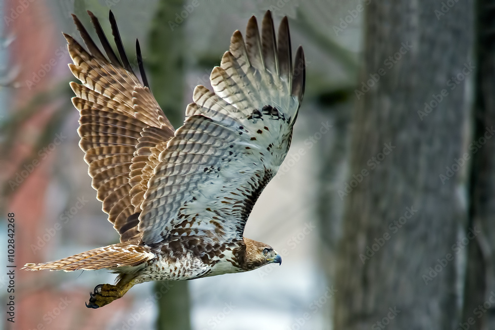 Fotografie, Obraz Red-tailed Hawk in Flight