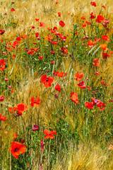 FototapetaChamp blé et fleurs