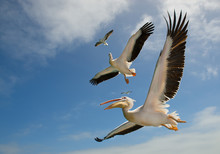 Two White Pelicans And Two Seagulls In Flight With Clean Background, Namibia, Africa
