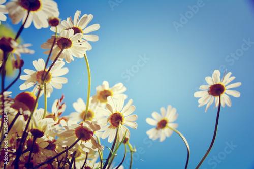 Valokuva  Grußkarte -  Kamillenblüten