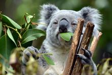 Koala At Lone Pine Koala Sanctuary In Brisbane, Australia